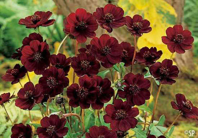 Chocolate Cosmos – Cosmos Atrosanguineus :  Rare flowers  by http://listverse.com/2011/10/25/top-10-incredibly-rare-flowers/